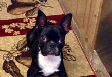 What are the Best Brands of Food to Feed a Boston Terrier?
