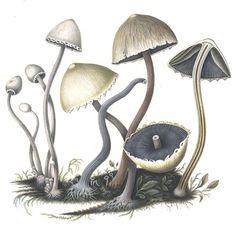 http://botlib.huh.harvard.edu/libraries/images/agaricus1.jpg