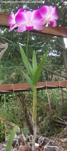 Orquídea: Denphal ekapol
