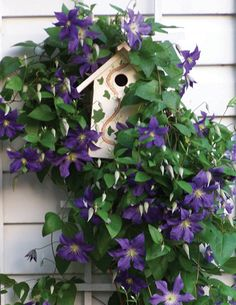 I gave one of these plants to a friend and she used it along the staircase to her pool...draped in clematis...