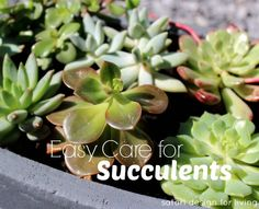 Caring for Outdoor Succulents- get the tips at http://satoridesignforliving.com  #gardening #succulents