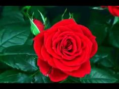This video shows the amazing time lapse of the blossoming of rose. Free online The Blossoming of Rose: Amazing ecards on Rose Day Rose Video, Flower Video, Blooming Flowers, Send Flowers, Rosas Gif, Good Morning Roses, Beautiful Red Roses, English Roses, Funeral