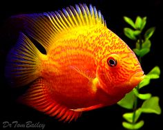 Regular Severum - Buy Neotropical and South American Cichlids at AquariumFish.net, a Cichlid Dealer.