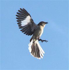 Northern Mockingbird.  Photo by Bob Leafe