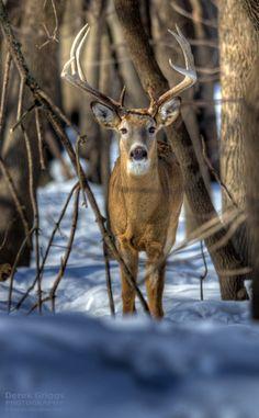 Winter Buck by Derek Griggs - Photo 24141813 / Whitetail Deer Pictures, Whitetail Deer Hunting, Deer Photos, Whitetail Bucks, Deer Pics, Moose Hunting, Hunting Art, Moose Deer, Big Deer
