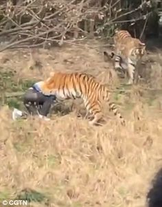 This is at a zoo in China. The animals do not belong in a zoo but in freedom unless they were rescued, or born in a zoo or other cases like that... The man tries to sit up as the tiger sinks its teeth into his upper body
