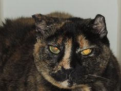 PENNE - A1037753 - - Staten Island   ***TO BE DESTROYED 09/04/15*** PENNE HAS BEEN AT THE SHELTER SINCE MAY AND HAS GREAT NEW VOLUNTEER COMMENTS!! PENNE is a 3 year old tortie girl who has curled ears from aural hematomas. However this just adds to her cuteness! PENNE must have been someone's pet because she is already spayed. This girl was super friendly and relaxed on intake, and affectionate on previous behavior evals but sadly this last one for some reason was pus