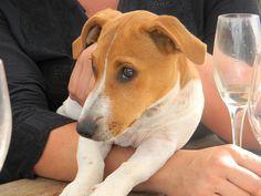 Savannah (Jack Russell Terrier)