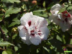 Hibiscus syriacus `Speciosus`- Althaeastruik*