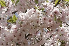 Ornamental Flowering Cherry Trees are available in large, medium, dwarf and weeping varieties.