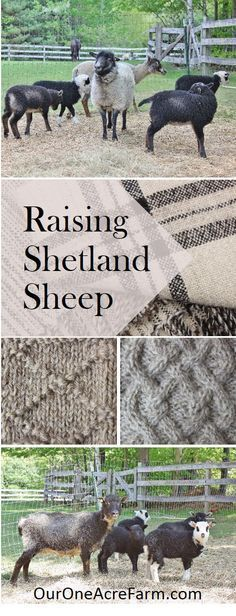 Raising Shetland Sheep is a guide to getting started with this easy care, small breed of sheep, suitable for a small farm. Breed profile, what you need, feeding, lambing, general health maintenance, protection from predators, and making money. Fleeces come in a wide range of natural colors and are popular among hand spinners. Meat is delicate in flavor; milking is possible.