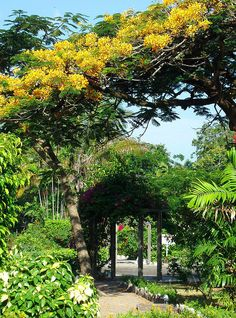 The yellow flamboyant tree (Delonix regia) hovers above an arbour of bougainvilla in the Promenade Gardens, Georgetown, Guyana.