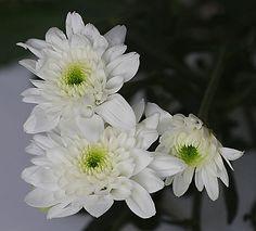 Flores de margaritas blancas.