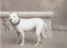 Duke,1899 Bull Terrier.Colección C.H.