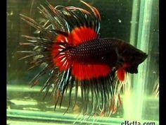 Betta Fish - So Fabulous, so fierce!