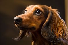 Seriously thinking about a long hair doxie now.  Isn't this one just precious?