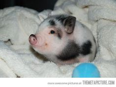Nothing to see here, just a tiny piglet