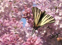 Orgona virág Lepke Tavasz - Országalbum