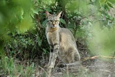 A female Felis lybica cafra (Southern African Wildcat) photographed by Nick Dean on Rd south of Babalala picnic area, Kruger National Park, South Africa Caracal, Serval, Big Cats, Cool Cats, African Wild Cat, Rusty Spotted Cat, Black Footed Cat, Sand Cat, Clouded Leopard