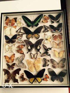 Motyle preparowane Pelplin • OLX.pl