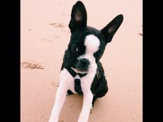 Luna the boston on the beach