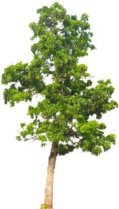 20 Imágenes de árbol PNG - Mahogani05L