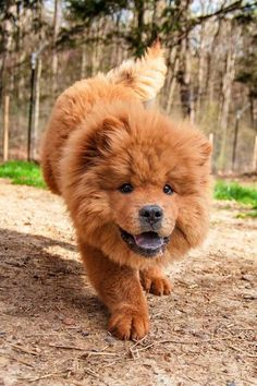 Meet Ping, a Petfinder adoptable Chow Chow Dog | Rockville, MD | Hi Everyone!My name is Ping. No, I am not a baby lion!!! I certainly do look like one with my...