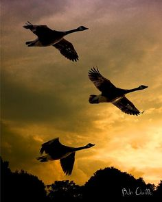 I love hearing the geese as they fly South for the Winter. The Journey South by Bob Orsillo