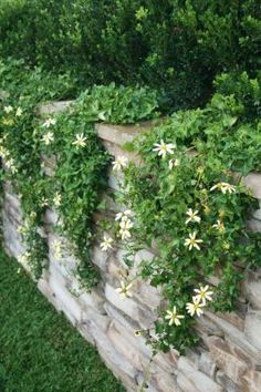 Indigenous flowering ivy (Senecio macroglossus) flows over the stone retaining walls, blurring their edges and decorating them with yellow daisy-like blooms in summer.