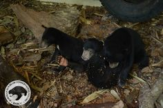 Two of the bears – named Boboi and Kitud – arrived at the sanctuary after being kept as pets in the village of Singgaron, Ranau District. There, they were confined to a small cage and fed with rice, milk, and fish. Luckily, medical tests revealed that both bears were healthy.