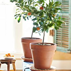 Owari Satsuma Mandarin, potted dwarf fruit tree, for indoor gardens.