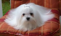 MALTESE BREEDER FROM LACHICPATTE.COM