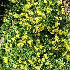 Svalört breder ut sig som en gulblommig matta i slutet av april.