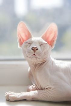A very content Sphynx cat bathes in the sunlight of a window.
