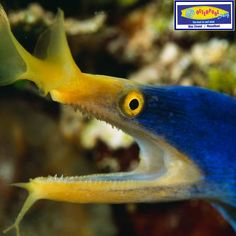 The ribbon eel has a unique appearance: trumpetlike nostrils and a lower jaw with three tentacles. But even more amazing than this eel's physiology is its signature behavior—a propensity for sex change. Functioning males regularly become females and change colors as well, adopting a nearly yellow hue that apparently suits their more feminine side. #Ocean #Animals #RibbonEel