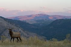 """""""The Elk and the Mountain""""  Bull Elk, Yellowstone NP. See more on http://facebook.com/giovanni.mari.photography"""