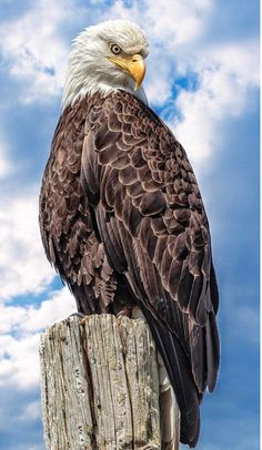 Types of Eagles - American Bald Eagle art portraits, photographs, information and just plain fun The Eagles, Types Of Eagles, Bald Eagles, All Birds, Birds Of Prey, Raptor Bird Of Prey, Exotic Birds, Colorful Birds, Photo Aigle