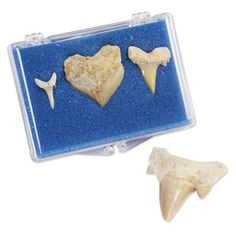 Sharks Teeth Fossil Rock Collection - we don't know a kid around who wouldn't love to have these in their rock collection. Get outside with YOUR kids and help them add to their collection!