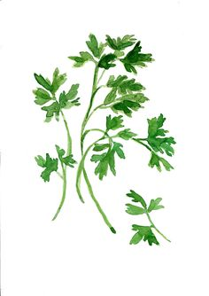 Parsley art Print ,print of watercolor, herb art, botanical print, green…