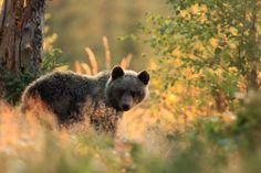 Bear by Helena Kuchynková on 500px