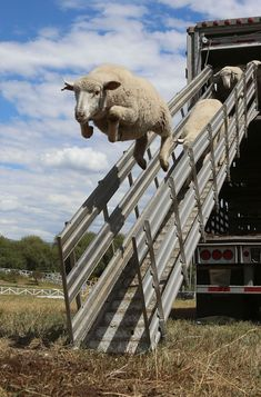 We all thought they were joking when they said the sheep could fly... #StoryStarter #WritingPrompt