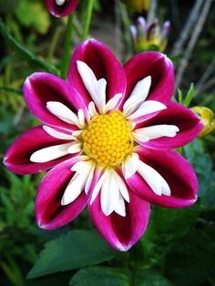 Collarette Dahlia 'Bumble Rumble'                                                                                                                                                     More