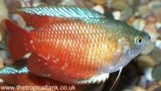 A good website for getting started in aquarium hobbies.   Picture of Dwarf gourami, male