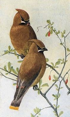 VINTAGE CEDAR WAXWING PAINTINGS IMAGES | This is a lovely image of two beautiful brown birds . I think the ...