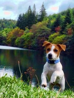 Jack Russell on the riverbank