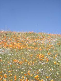 Orange Flowers. I think they are california poppies