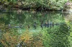 Ducks On A Log. This photo, of Mallard Ducks on a Log, with their Reflections in Lake Enka, was taken at Biltmore Lake, Asheville area, North Carolina. Nature, outdoor, wildlife and landscape scenes photographed by NaturesPix