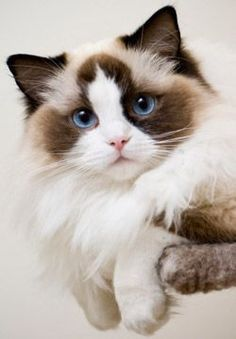 I seriously love ragdoll kittens. best images ideas about ragdoll kitten - most affectionate cat breeds - Tap the link now to see all of our cool cat collections! Pretty Cats, Beautiful Cats, Animals Beautiful, Beautiful Pictures, I Love Cats, Crazy Cats, Cool Cats, Cute Kittens, Fluffy Kittens