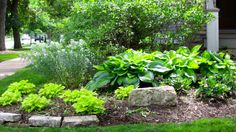 "My Garden Diaries....lime heuchera, hostas and phlox in a little ""island"" cluster"