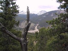 Ancient tree overlooking alluvial fan in Horseshoe Park, Rocky Mountain National Park, Colorado